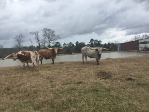 Long Horn Steers - $2,500 each