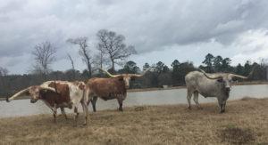 Long Horn Steers - $2,500 each